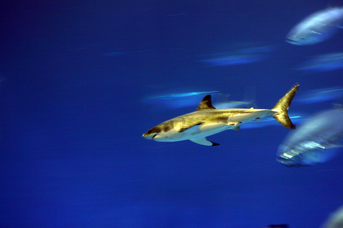 great white shark - monterey